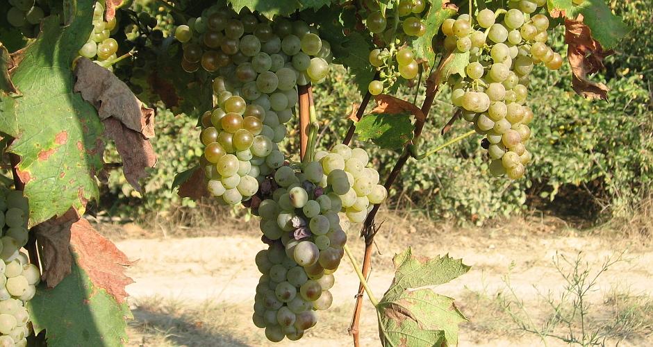 Herbst – Weinlese am Balaton